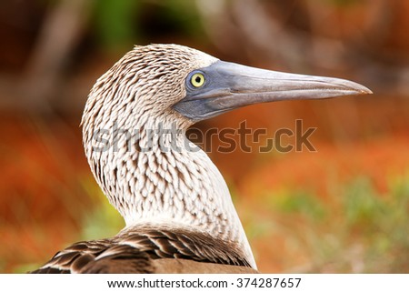 Portrait of Blue-footed Booby (Sula nebouxii) on North Seymour Island, Galapagos National Park, Ecuador - stock photo