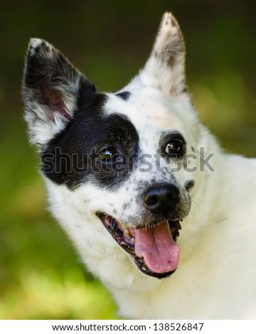 Portrait of blue heeler or Australian cattle dog - stock photo