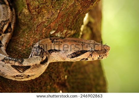 Portrait of Boa constrictor snake, Belize - stock photo