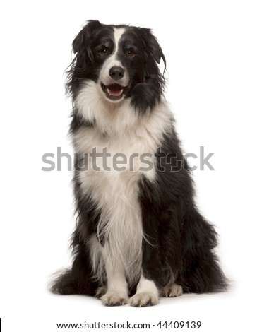 Portrait of Border collie, 3 years old, sitting in front of white background, studio shot - stock photo