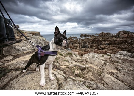 Portrait of Boston Terrier at the stony Beach in Brittany France in Summer - stock photo