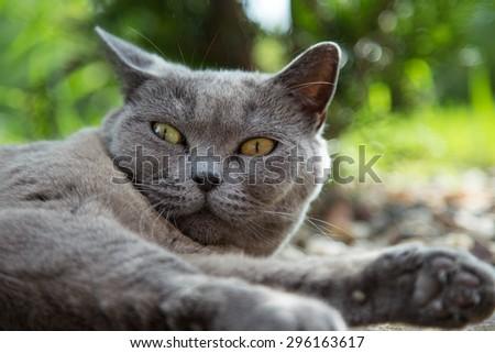 Portrait of british blue cat. Close-up. - stock photo