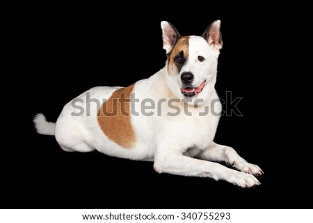 Portrait of brown and white dog lying against black background - stock photo