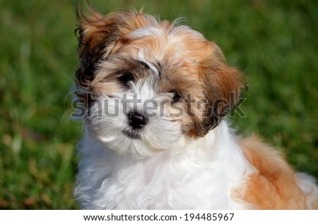 Portrait of brown and white shichon puppy on blurred green grass background - stock photo