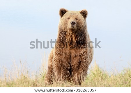 Portrait of brown bear - stock photo