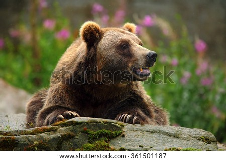 Portrait of brown bear, sitting on the grey stone, pink flowers at the background, animal in the nature habitat, Finland - stock photo