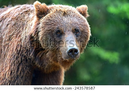 Portrait of brown bears in their natural habitat - stock photo