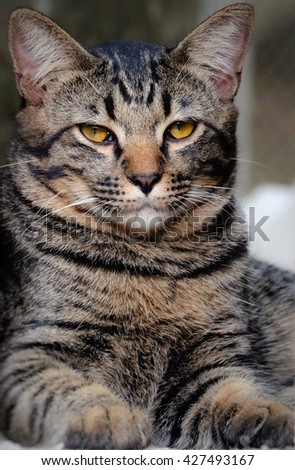 Portrait of brown-eyed curious cat, curious dark grey cat, naughty cat looking straight to the camera, brown-eyed cat, gray cat striped tabby kitten. - stock photo