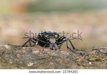 portrait of calosoma inquisitor - stock photo