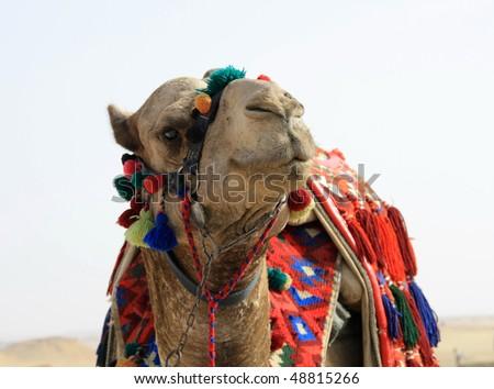 Portrait of camel - stock photo