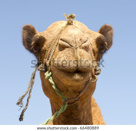Portrait of Camel, closeup, against the sky. - stock photo