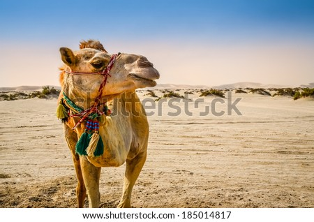 Portrait of camel standing in the desert looking away - stock photo