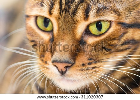 Portrait of cat brown mackerel tabby color, close-up. Shallow depth of field. - stock photo