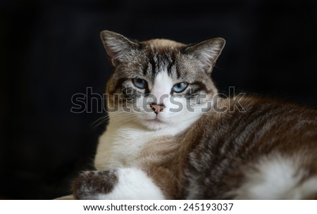 Portrait of cat with blue eyes against a black background - stock photo