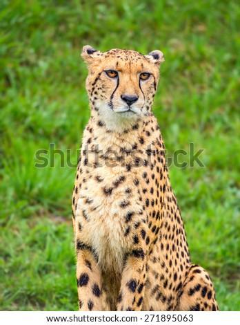 Portrait of cheetah (Acinonyx jubatus) - stock photo