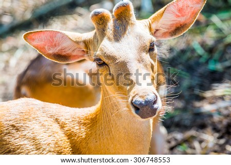 Portrait of Cheetal Spotted deer, Thailand. - stock photo