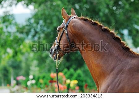 Portrait of chestnut sport stallion  with braided mane - stock photo