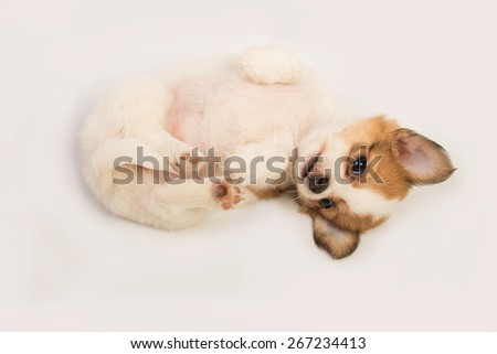 Portrait of chihuahua puppy - stock photo