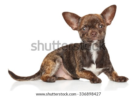 Portrait of Chihuahua puppy on a white background - stock photo