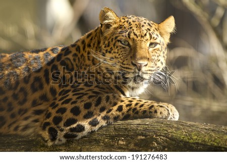 portrait of chinese leopard - stock photo