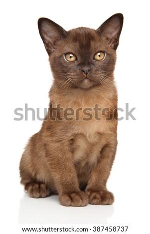 Portrait of Chocolate Burmese kitten on white - stock photo