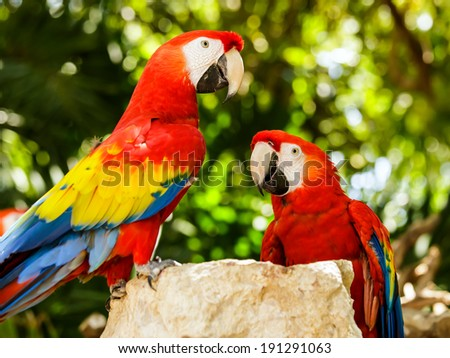 Portrait of colorful Scarlet Macaw parrots in Mexico - stock photo