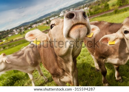 portrait of cows who grazing outside at pasture land - stock photo