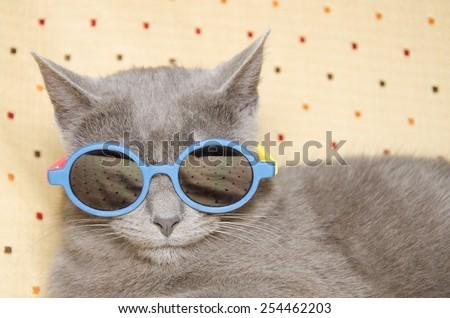 Portrait of crazy british shorthair kitten with summer sunglasses. - stock photo