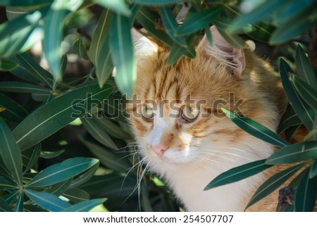 Portrait of Curious fluffy ginger and white tabby cat sitting among the bushes - stock photo