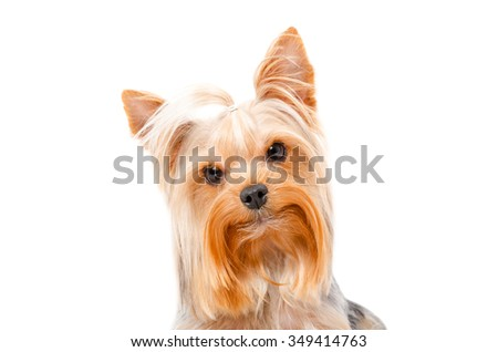 Portrait of curious Yorkshire Terrier, closeup, isolated on white background - stock photo