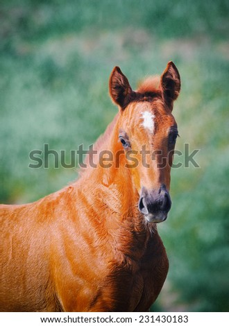Portrait of cute chestnut foal. Toned image - stock photo