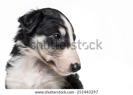 Portrait of cute little russian borzoi puppy isolated on white background  - stock photo