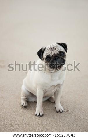 Portrait of cute pug sitting on beach - stock photo