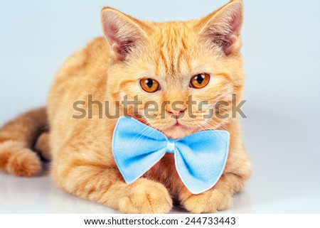 Portrait of cute red cat wearing blue bow tie - stock photo