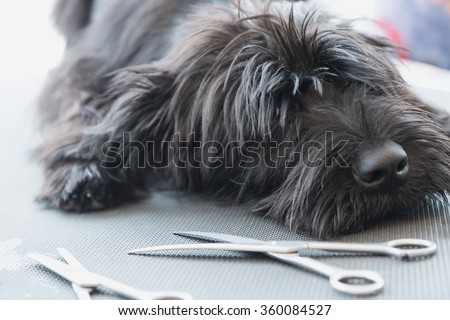 Portrait of cute Schnauzer dog puppy lying on the grooming table with scissors lying in front of him - stock photo