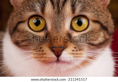 Portrait of cute tabby with yellow eyes close-up - stock photo