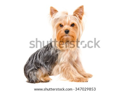 Portrait of cute Yorkshire terrier sitting isolated on white background - stock photo