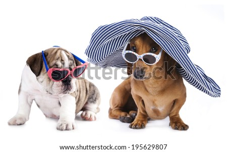 Portrait of Dachshund and english bulldog puppy in sunglasses - stock photo