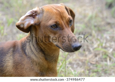 Portrait of dachshund with flipped over ear - stock photo