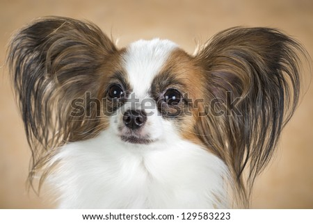 Portrait of dog breeds Papillon close up on a beige background - stock photo