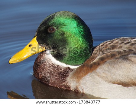 Portrait of duck  - stock photo