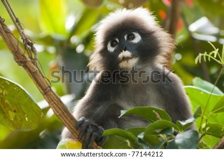 portrait of dusky leaf monkey in tropical tree - stock photo