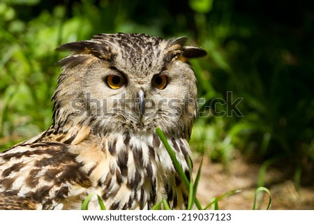 Portrait of eagle-owl (bubo bubo) - stock photo