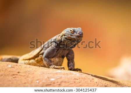 Portrait of eastern collared lizard (Crotaphytus collaris), also called common collared lizard or Oklahoma collared lizard - stock photo