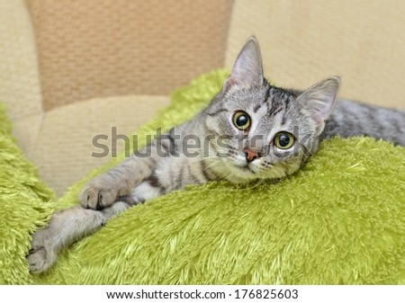 Portrait of elegant grey Cat, domestic cat in blur brown dirty background, cat portrait, animals, domestic cat, cat with green eyes close up in focal focus, grey cat, elegancy, cat selective focus - stock photo