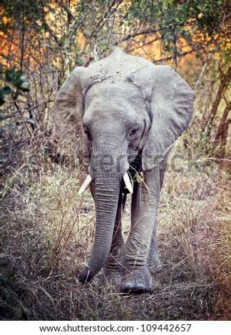 portrait of elephant in luangwa national park zambia - stock photo