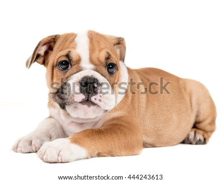 Portrait of english bulldog puppy isolated on white background  - stock photo