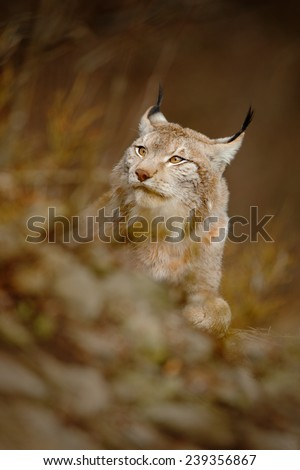 Portrait of Eurasian lynx in the brown grass - stock photo