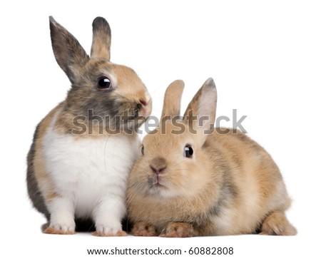 Portrait of European Rabbits, Oryctolagus cuniculus, sitting in front of white background - stock photo