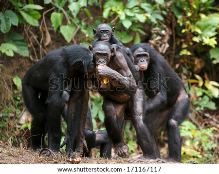 Portrait of family of a Chimpanzee bonobo ( Pan paniscus). Democratic Republic of Congo. Africa - stock photo
